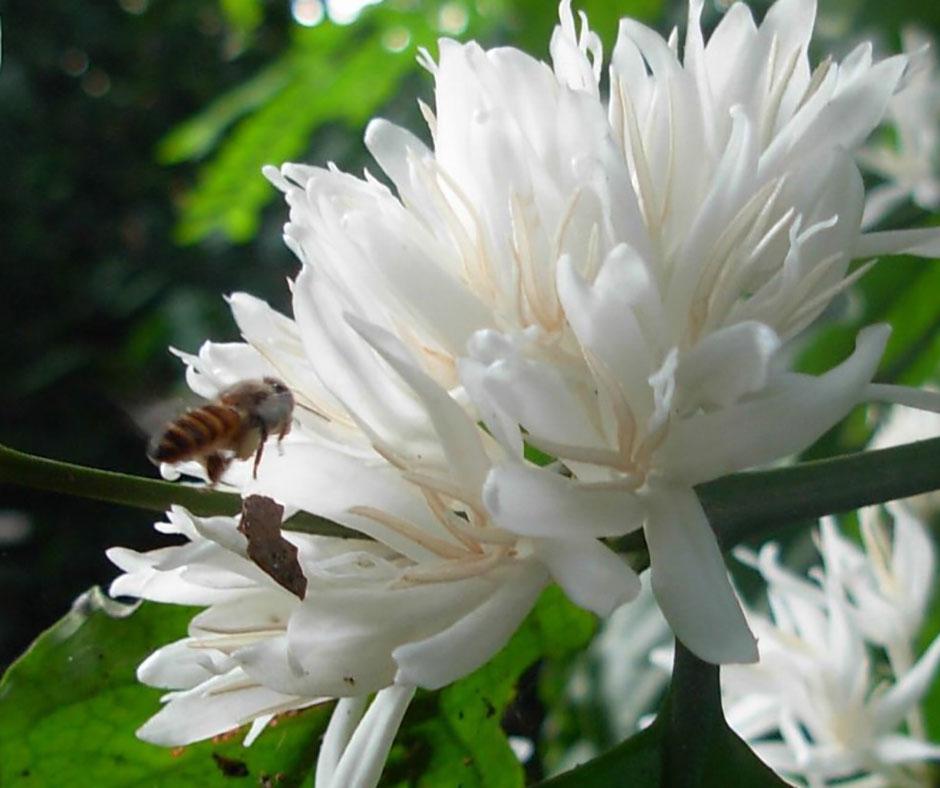 cách-nhận-biết-mật-ong-hoa-cà-phê-nguyên-chất
