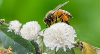 hình-ảnh-ong-hút-mật-hoa-cà-phê