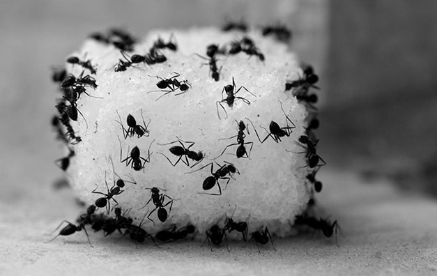 mật ong nguyên chất có bị kiến bu không